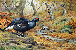 Постер Даннер Карл (совр) Black Cock Grouse by a stream