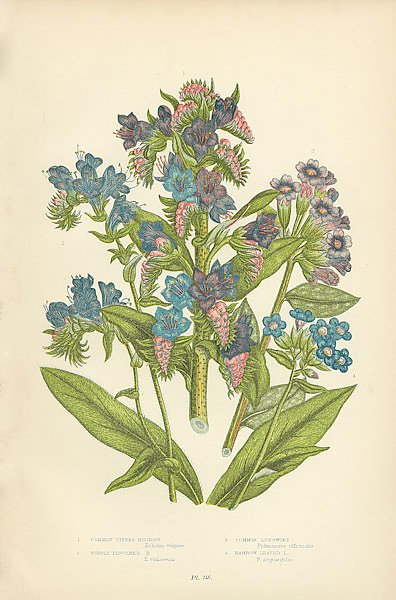 Common Vipers Bugloss, Purple Flowered b., Common Lungwort, Narrow Leved l.