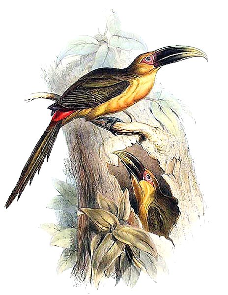 Saffron-coloured Aracari