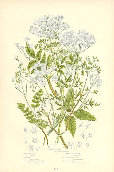 Common Parsley, Corn Parsley, Honewort, Procumbent Marshwort, Least Marshwort, Stone Parsley, Gout W