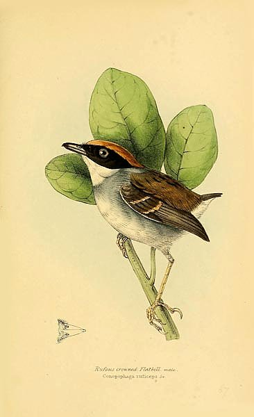 Rufous crowned Flatbill
