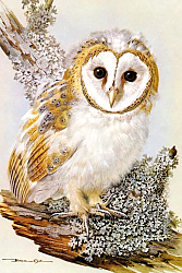 Постер British Birds - Barn Owl