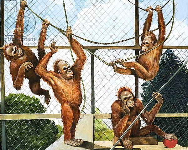 Orangutans, illustration from 'Who's who at the Zoo', 1968