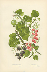 Постер Common or Red Currant, Tasteless Mountain Currant, Black Currant, Common Gooseberry