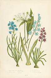 Постер Broad Leaved Garlic or Ramsons, Vernal Squill, Twin Leaved s., Autumnal s.