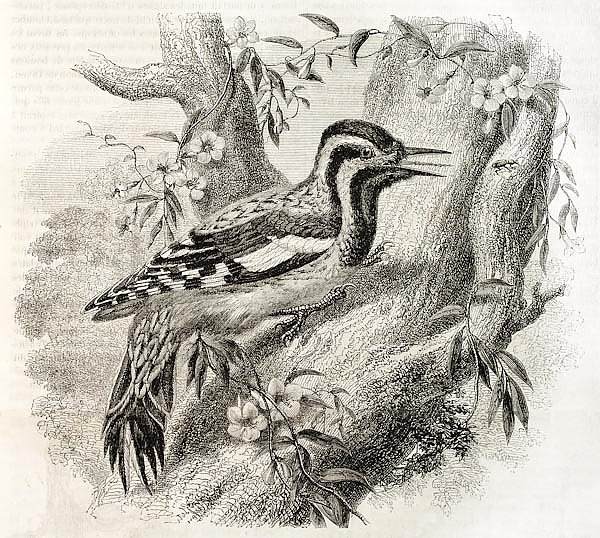 Woodpecker in North America(Sphyrapicus varius). Created by Freeman, published on Magasin Pittoresqu