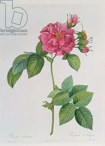 Rosa Turbinata, from ,Les Roses', Vol 1, 1817